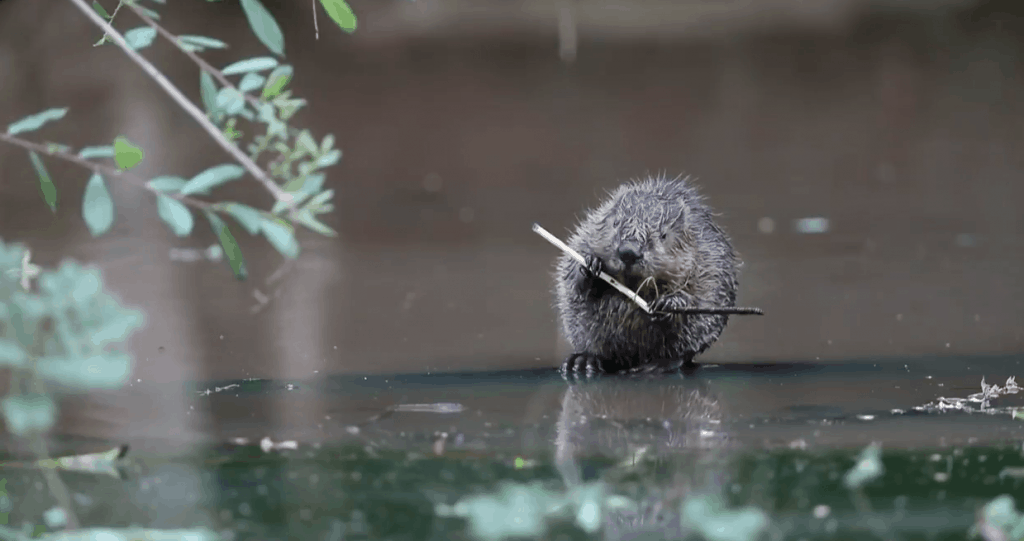 Wild beaver at Percys Country House Hotel in Devon